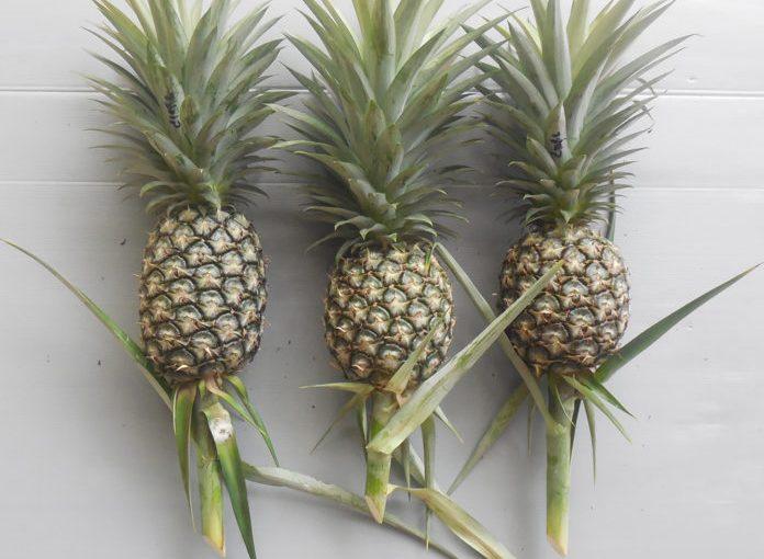 """เอาใจคนรักหวาน สับปะรดสายพันธุ์ใหม่ """"เพชรบุรี 2"""" คลอดแล้วจ้า"""